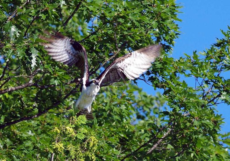 osprey1_lowres