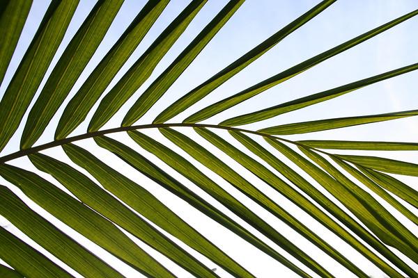 Santa Barbara leaf