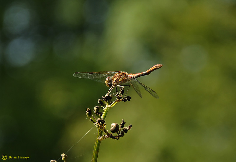 Dragonfly (Comon Darter)