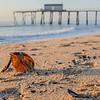 Horseshoe Crab Shell on Beach, Belmar, NJ