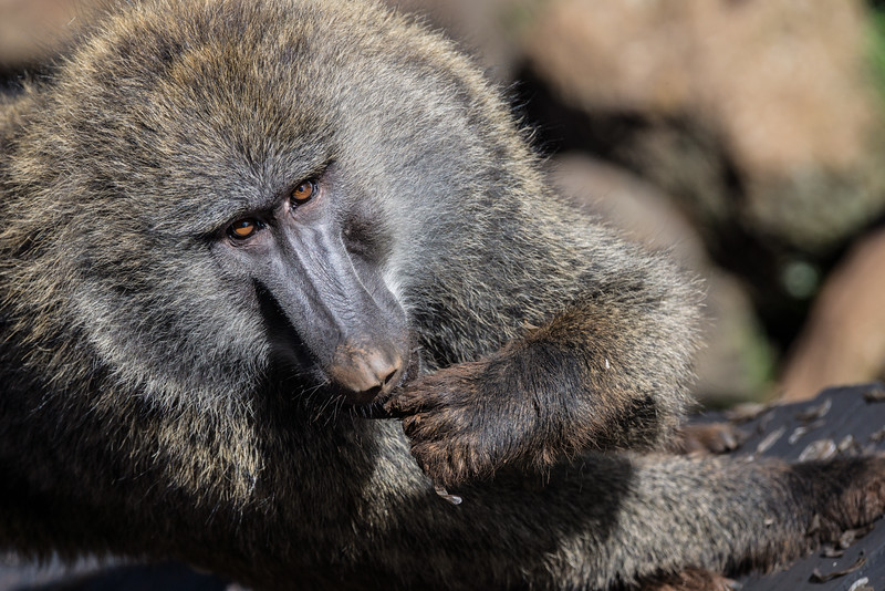 Baboon snacks on termites (kumbi kumbi) in Aberdare National Park, Kenya
