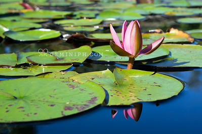 Pink Marliac Rose amongst lily pads.