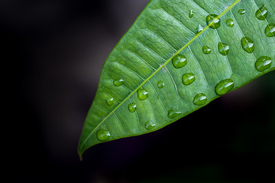 Tropical leaf with raindrops