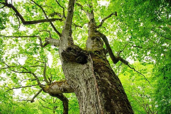 Fresh Green, An old Japanese Oak tree