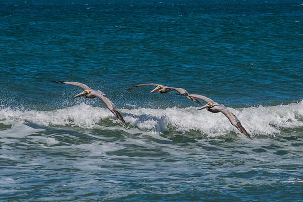 Pelicans 3971