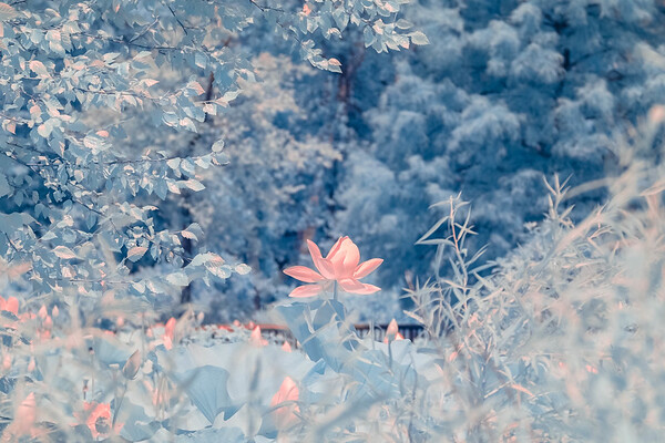 lotus at Kenilworth