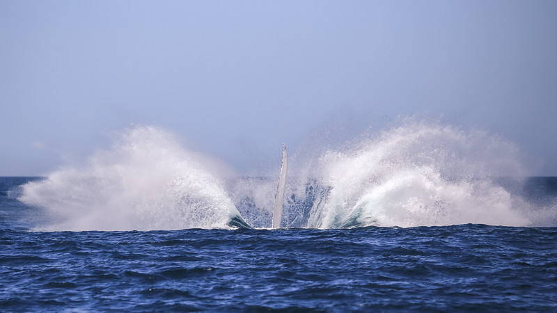 Humpback Splash