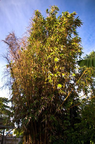|bamboo|