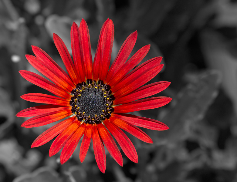 red daisy flower close up.