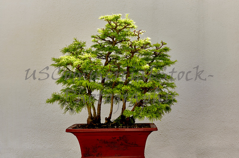 Golden Larch Bonzai Tree