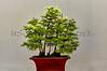 Golden Larch Bonzai Tree