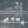 Trumpeter Swans Ness Lake
