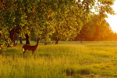 A deer eating leaves from a tree at sunset.
