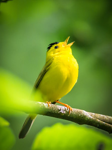 Wilson's Warbler Belting It