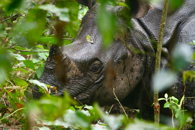 One-horned Rhino (Rhinoceros unicornis)