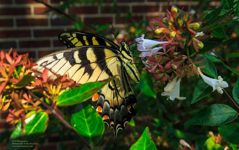 Eastern Female Swallowtail Butterfly