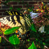 Eastern Female Swallowtail Butterfly