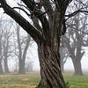 fog shrouded trees