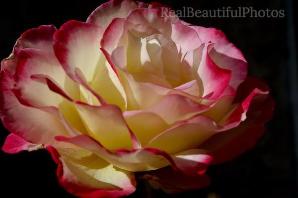 Popping Rose
