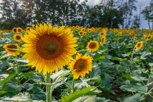 Sunflower Field 9/2/18