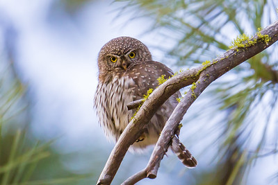 Norther Pygmy Owl