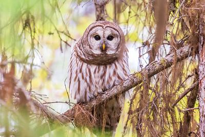 Barred Owl Eyes