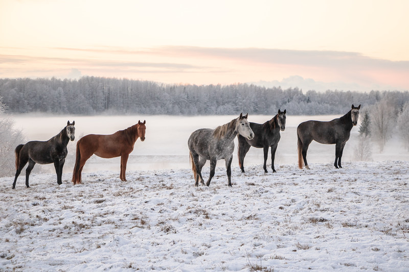 Horses in winter sunset