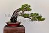 Japanese Black Pine Bonzai