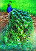 "ETC-3463-WPP1692  ""Peacock in Winter Park"""