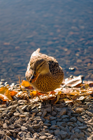 Duck at Silver Lake - June Lake
