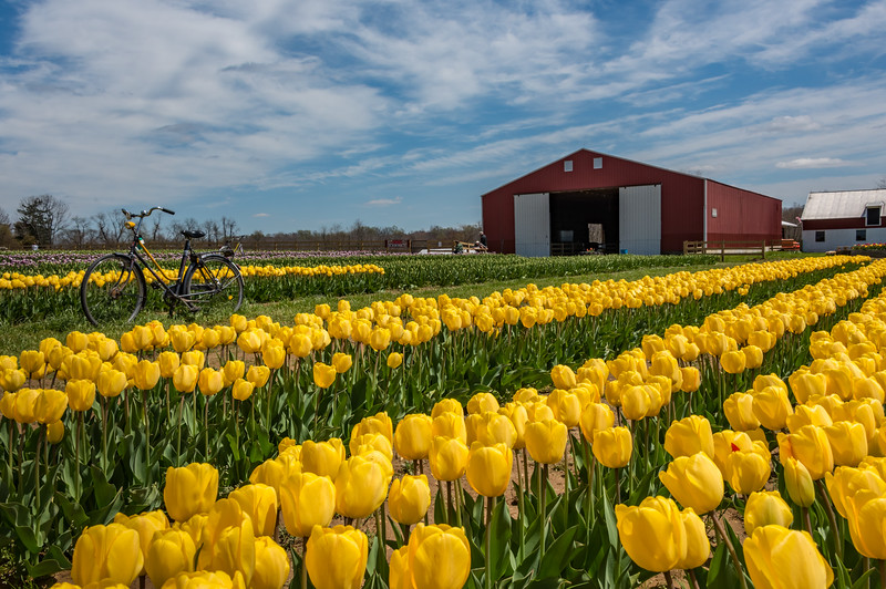A Farmhouse in a Field of Tulips 4/26/18