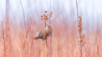 Beautiful Wren Scene