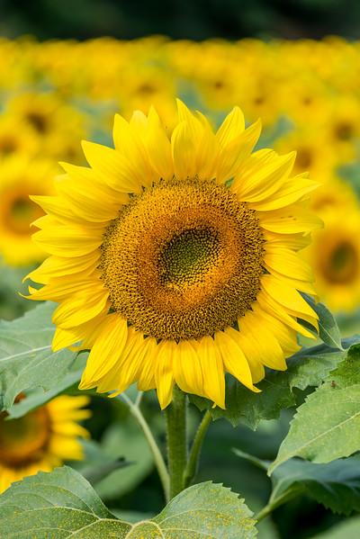 Sunflower Field 9/16/17