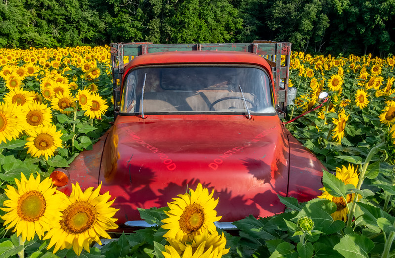 A Rusty Old Truck In A Field Of Sunflowers 8/14/21