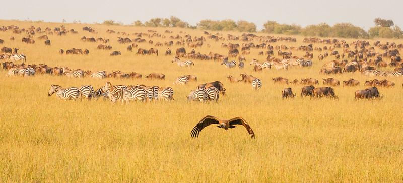 Great herds on the Masai Mara