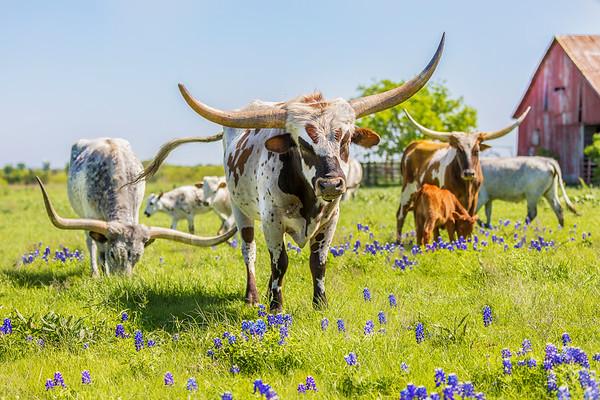 Joshua D Weiss Fine Art Photography of Longhorns in the Bluebonnets in Ennis Texas