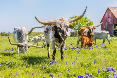 Joshua D Weiss Fine Art Photography of Longhorns in the Bluebonnets in Ennis Texas