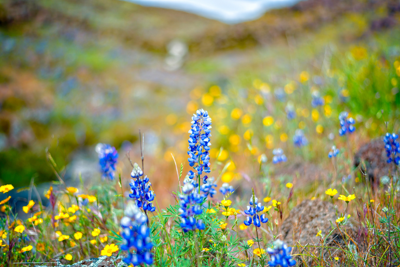 Lupins - Table Mountain-19