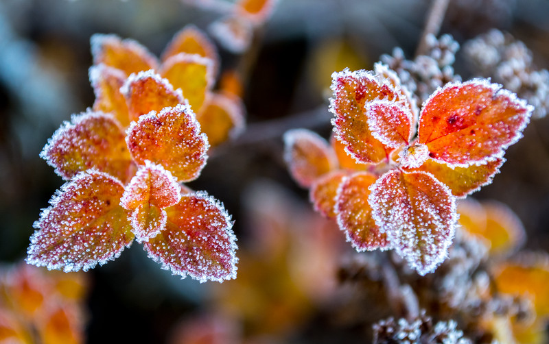 Frost-Covered Leaves