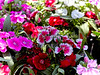 Pink and Red Dianthus in a Flower Garden