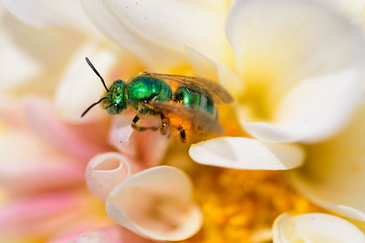 Emerald Wasp Deep In A White Flower