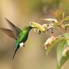 Pacamayo Hummingbird