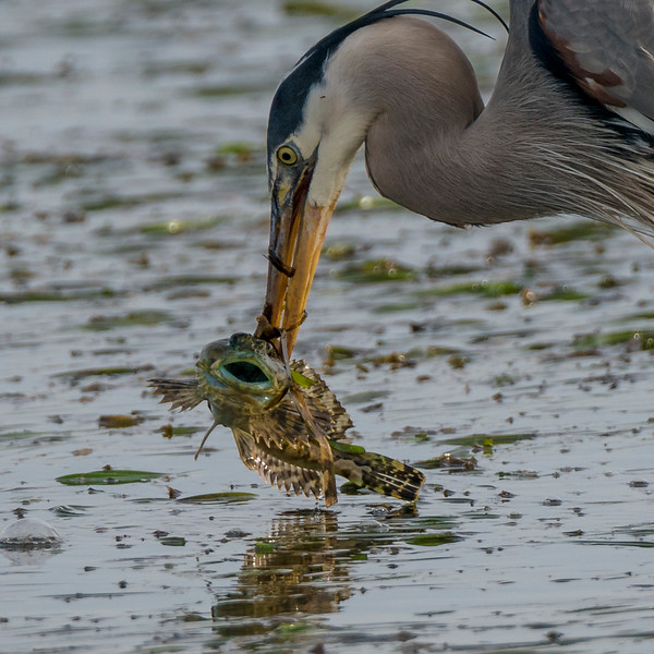 Blue Heron and Sculpin