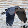 Blue Heron - Barnet Marine Park
