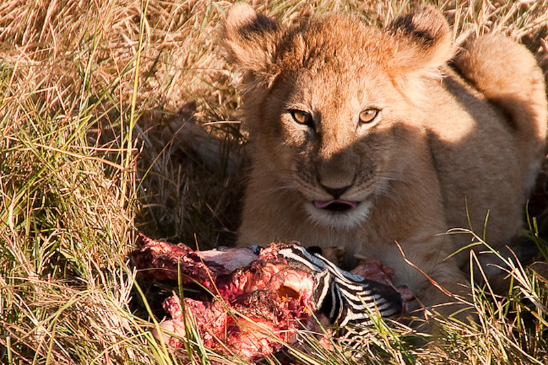Circle of life in the Masai Mara: A lion cub (Panthera leo) feasts on what was likely a Grevy's zebra (Equus grevyi).