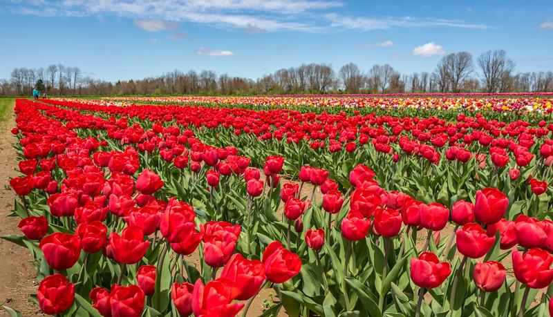 A Field of Tulips 4/26/18