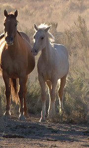 Wild Horses of the Oregon Outback