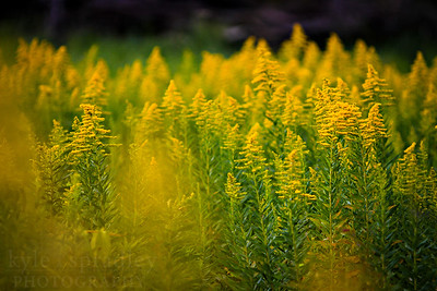 A field of goldenrod in bloom in late October in southern Missouri.  Photo by Kyle Spradley | www.kspradleyphoto.com