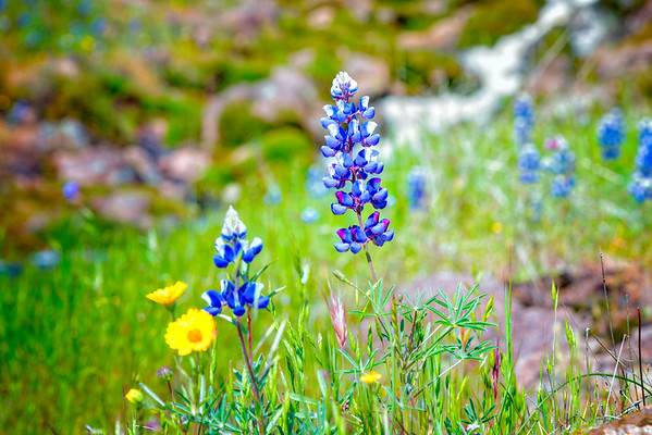 Lupins - Table Mountain-24