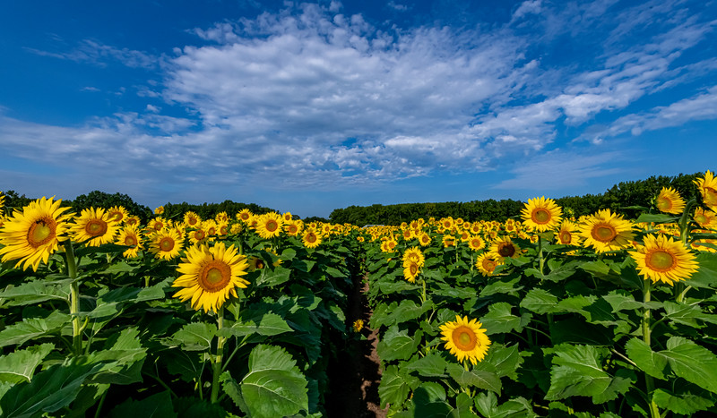 A Field Of Sunflowers 8/14/21